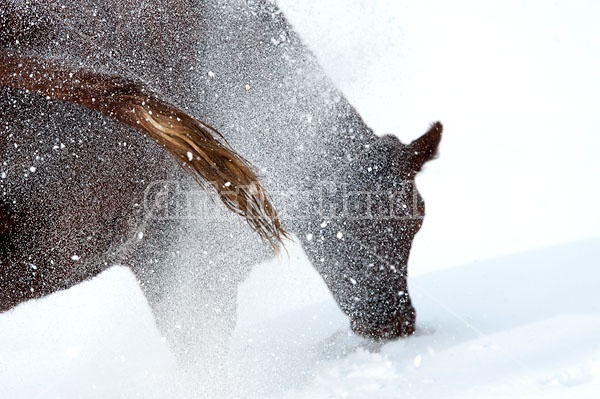 Cow Pawing in Snow