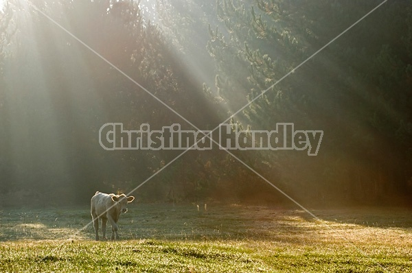 Young crossbred beef calf backlit by the suns rays streaming through the trees.