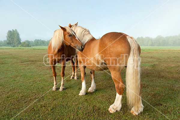 Two chestnut horses standing in field in early morning light mutually grooming each other, scratching each other.