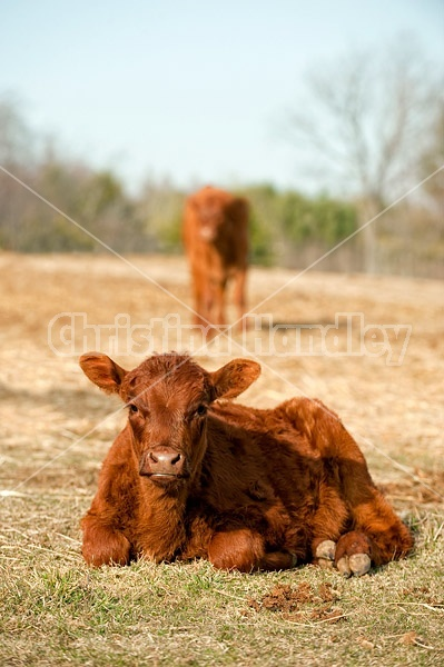 Young beef calf laying down