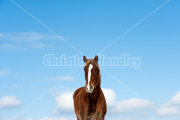 Belgian draft horses photographed against a blue sky