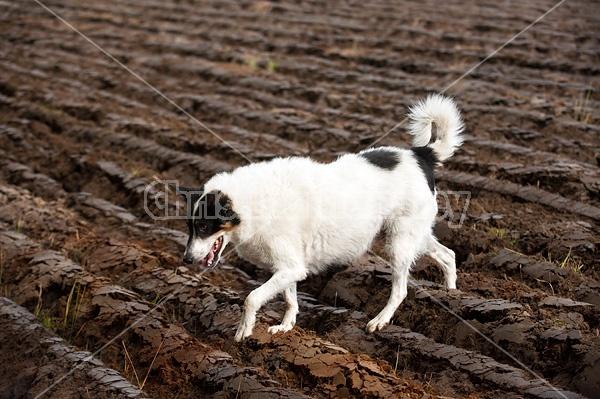 Dog walking across freshly plowed field