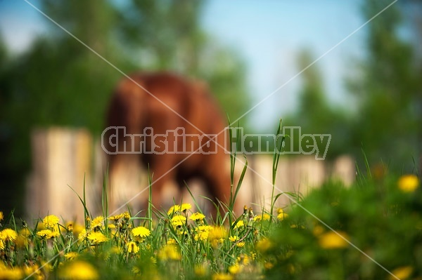 Horse grazing in springtime