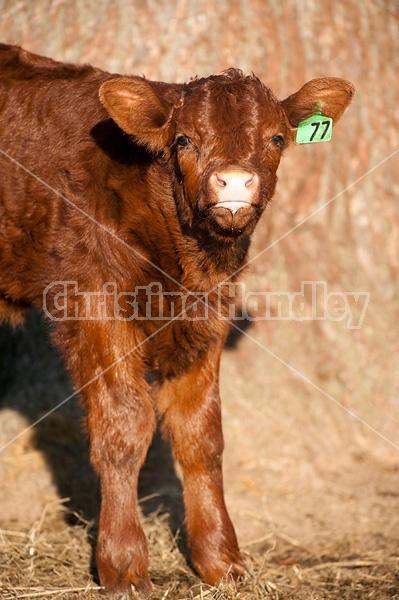 Beef calf portrait