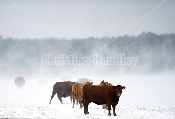 Photo of beef cows standing outside in winter during snowstorm