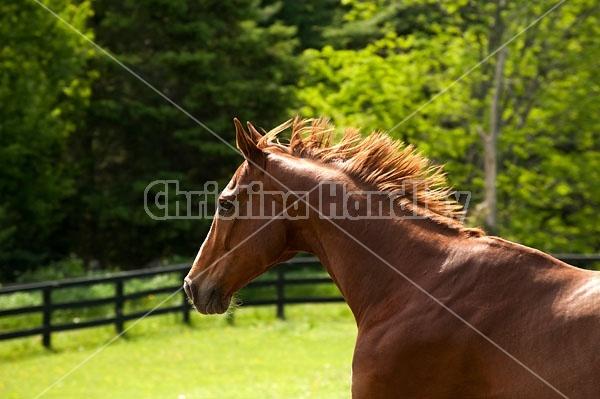 Chestnut Thoroughbred horse