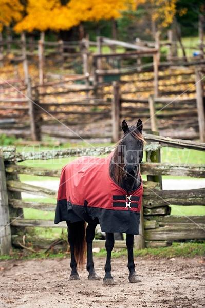 Rocky Mountain Horses