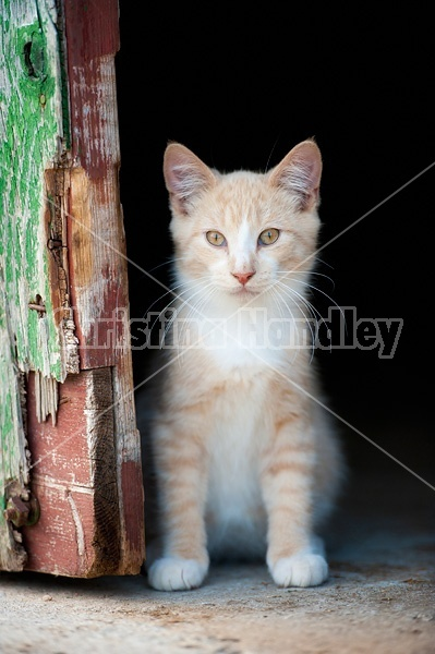 Orange kitten sitting beside barn door