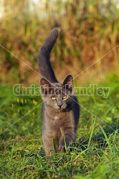 Gray kitten walking in grass