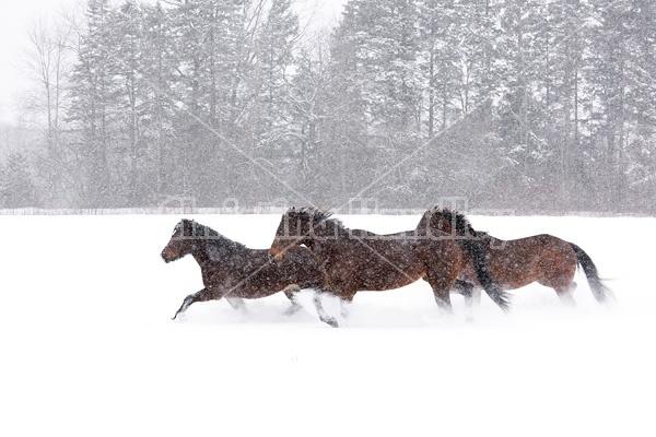 Horses galloping through deep snow