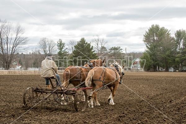 Farmer working a team of Belgian Draft Horses