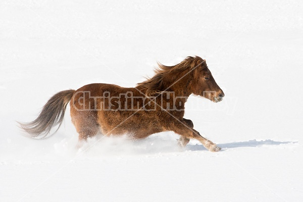 Pony galloping in deep snow