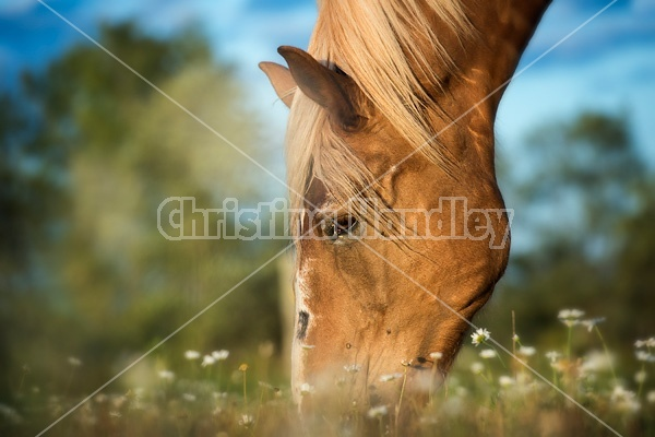 Belgian draft horse grazing