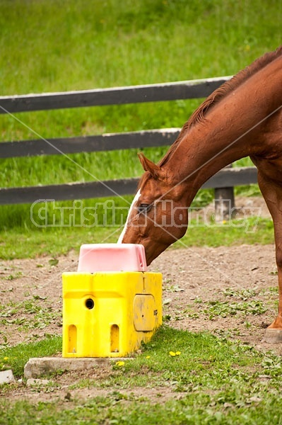 Thoroughbred horse drinking water