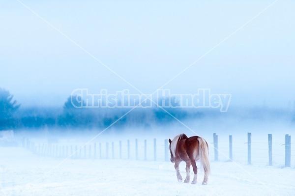 Single Belgian draft horse walking alone in snowy field