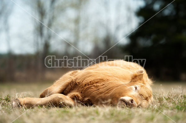 Beef calf Sleeping in the pasture