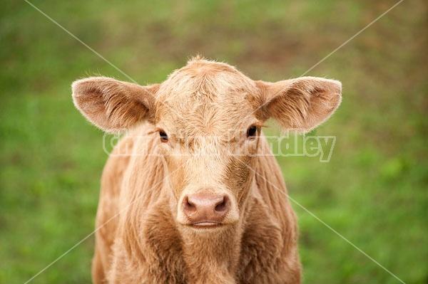 Young Charolais beef calf