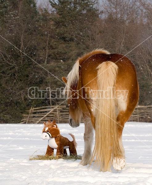 Belgian Draft horse sniffing stuffed horse