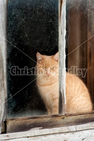 Orange barn cat sitting in barn window