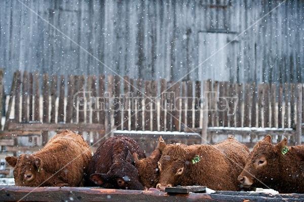 Herd of Young Beef Heifers
