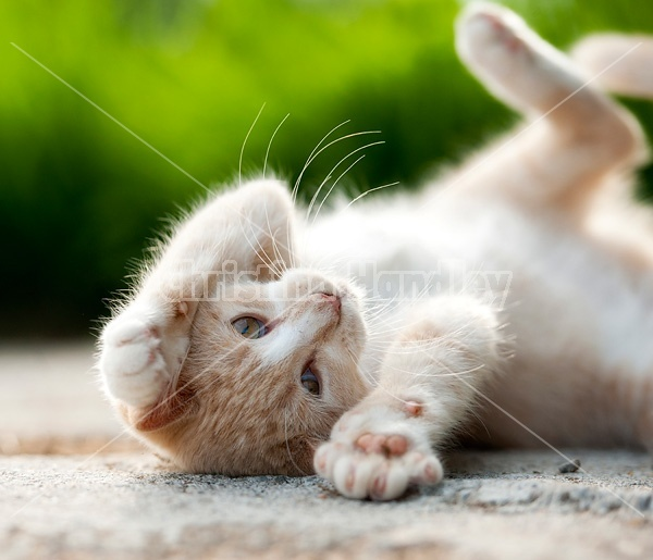 Orange kitten rolling around on ground playing