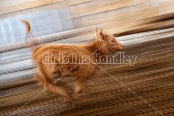 Young Beef Calf Running