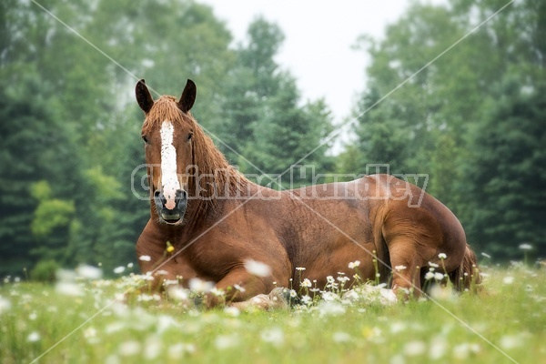 Belgian draft horse laying down in daisies