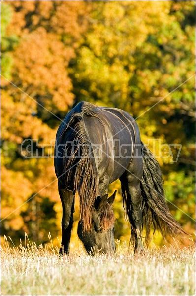 Friesian horse grazing on autumn pasture.