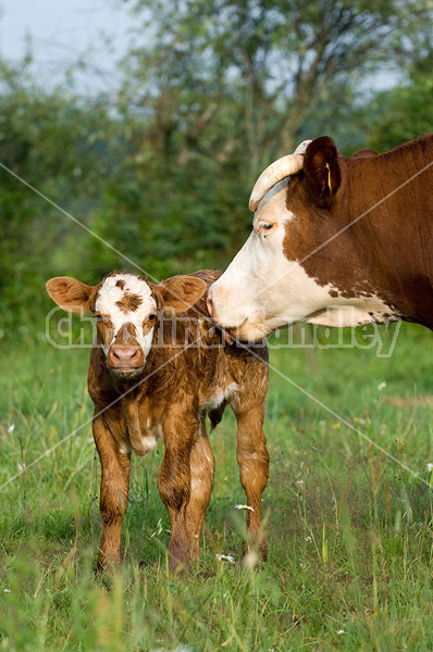 Mother cow licking baby beef calf