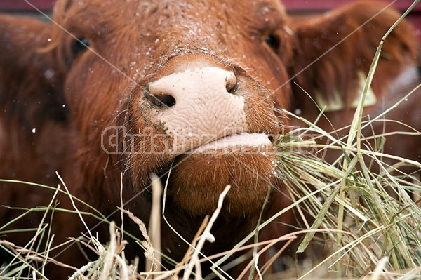 Closeup of Cow Nose