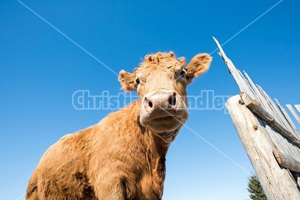 Beef cow standing beside wind break fence with blue sky in background