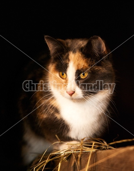 Calico barn cat sitting on barn beam