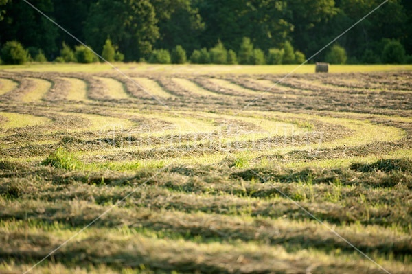 Windrows of freshly cut hay