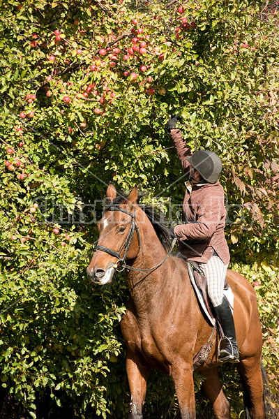 Woman picking apples from tree on horseback