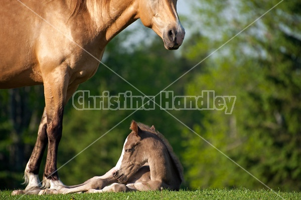 Young Rocky Mountain Horse foal and mare.