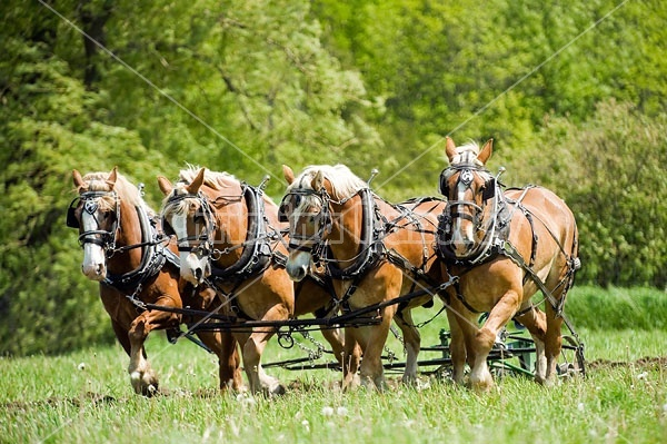 Hitch of Belgian Draft Horses