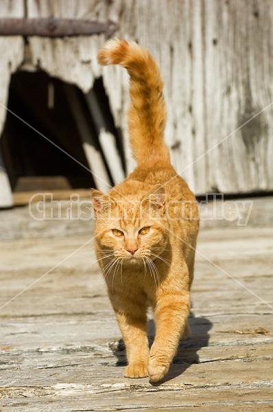 Orange barn cat walking around outside the barn.