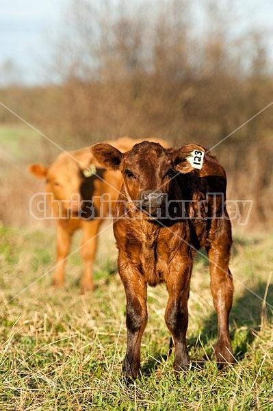 Baby Beef Calves
