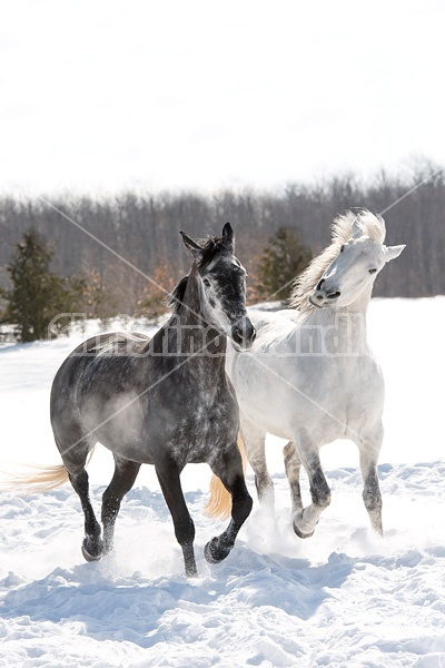 Two horses galloping through deep snow