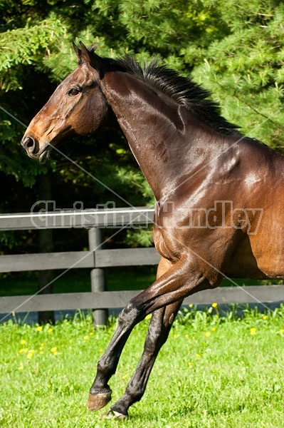 Bay Thoroughbred gelding