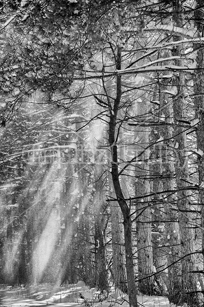 Sun light streaming through a stand of pine trees as snow falls off in the wind