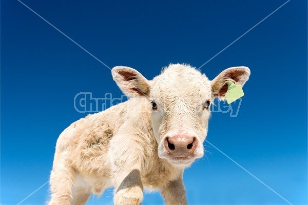 Charolais beef calf with blue sky in background