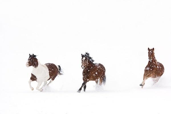 Herd of horses running through deep snow
