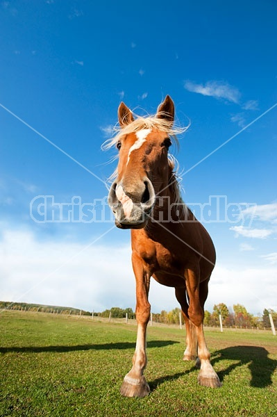 Belgian Horse Against Big Blue Sky