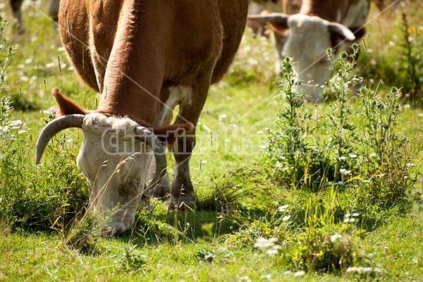 Beef Cow Grazing