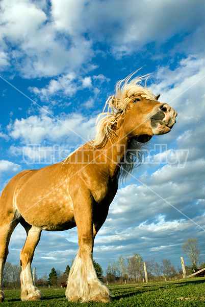 Belgian draft horse against blue sky with clouds.