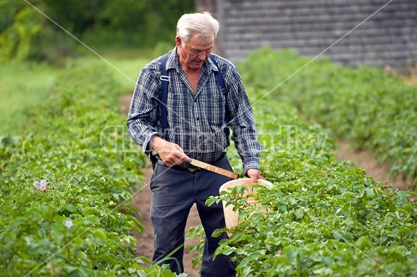 Farmer picking potato bugs off an organic crop of potato plants using a pail and a stick