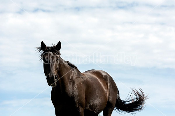 Black Rocky Mountain Horse photographed against big blue sky background