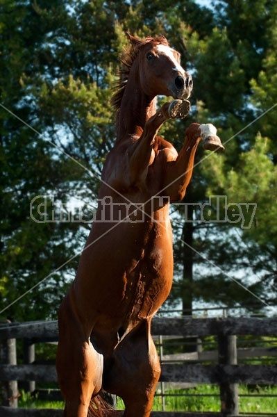 Chestnut thoroughbred horse rearing up