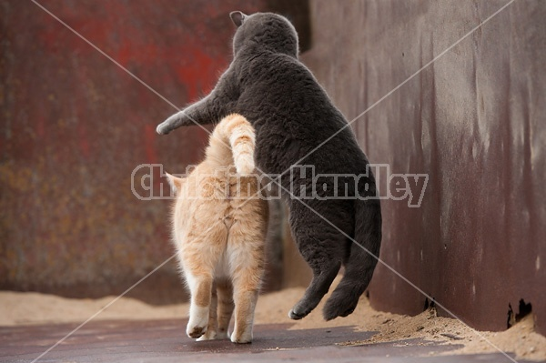 Cat pouncing on another cat